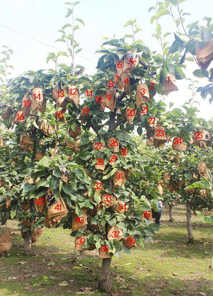 金果梨种植技术开金种苗两年生果个大