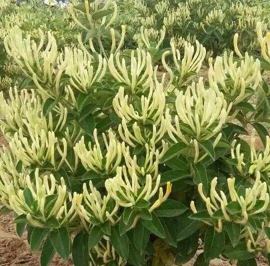 树形四季金银花苗 新品种