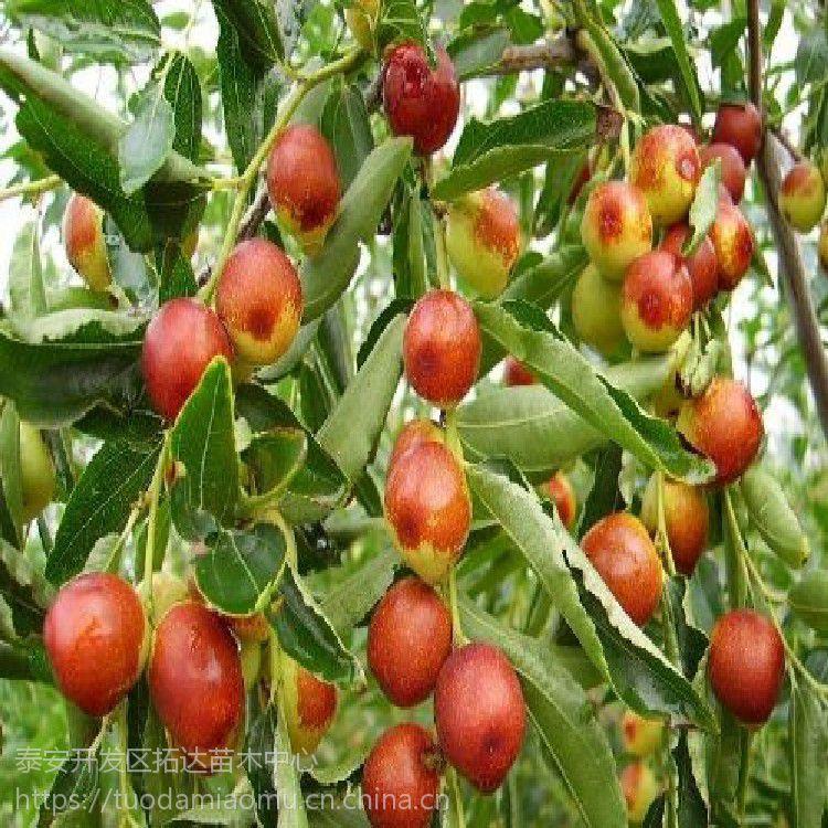 3公分以上的冬枣树苗 哪里有冬枣树苗 冬枣树苗基地