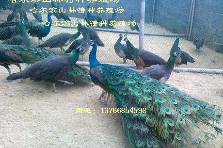 绥化蓝孔雀养殖场伊春蓝孔雀养殖场牡丹江蓝孔雀养殖场