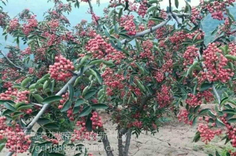 狮子头大红袍花椒苗哪里有好苗?还是问韩城无刺培鑫花椒苗价格
