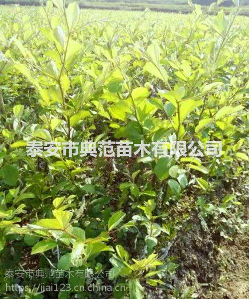台湾大青枣树苗 大青枣树苗价格 基地直供价格优惠