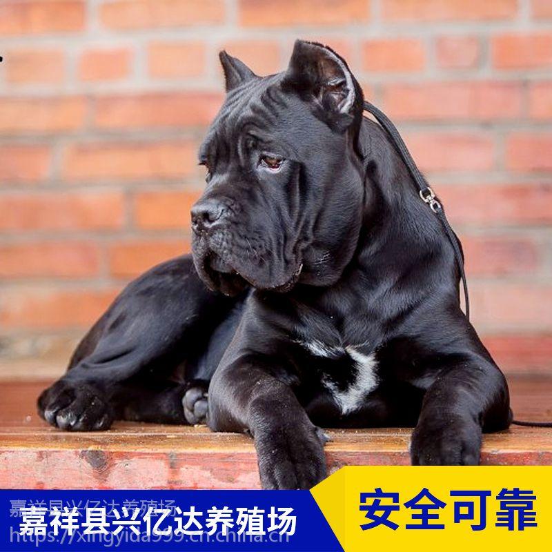 嘉祥兴亿达优质特种卡斯罗幼犬养殖场供应