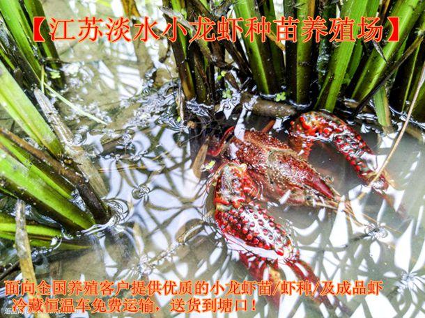 邵阳市批发小龙虾种苗价格