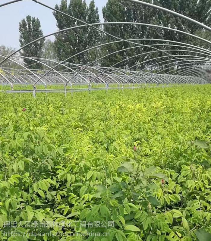 保定大汉绿洲60公分四季玫瑰供应