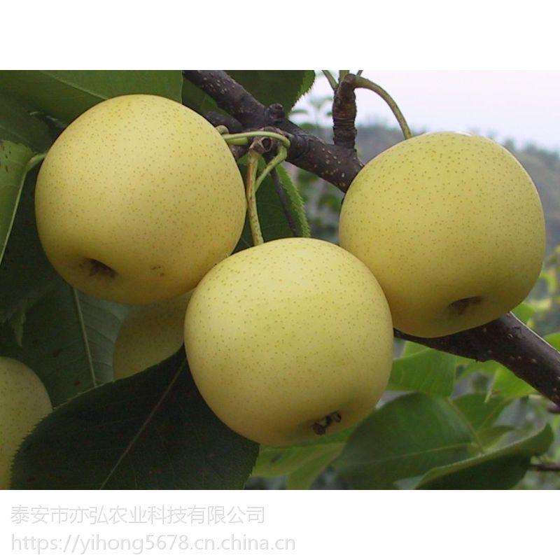 晚秋黄梨树苗品种供应 丰产挂果早
