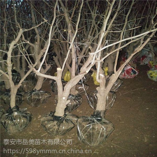 6公分枣树带土价格 6公分结果枣苗