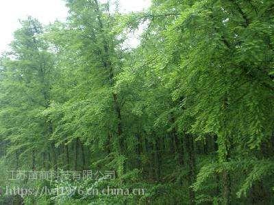 南京中山杉 2-8米高中山杉哪里有的买?