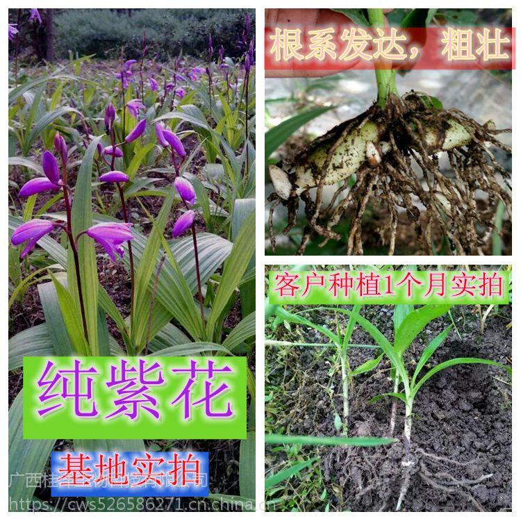 白芨苗 两年苗3公分块茎大小,15公分高度 批发 量大从优