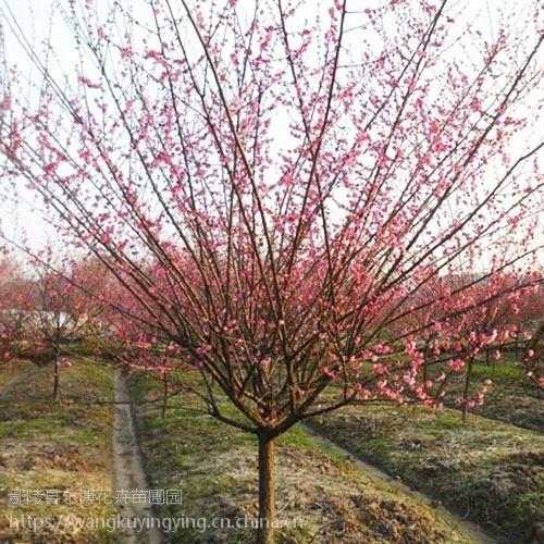 3-10公分的红梅 鄢陵红梅苗圃园供应