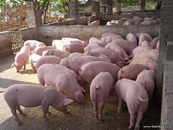 邓州大白仔猪出售