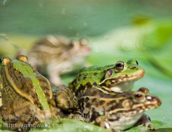 南充青蛙养殖基地|生态健康青蛙批发|欢迎提前订购