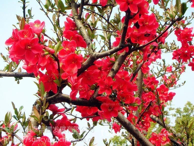红宝石海棠以其优美的树形、丰富多彩的观赏效果成为中国珍贵的城市绿化彩色树种。