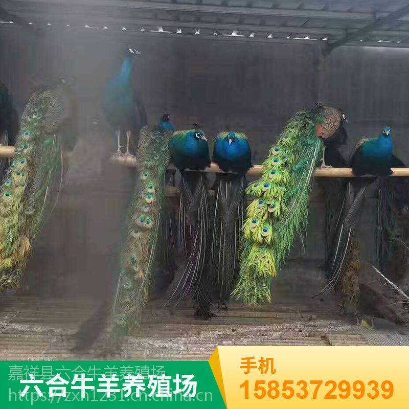 山东济宁 观赏成年特种孔雀开屏 六合孔雀养殖场销售