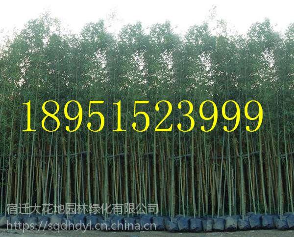 3公分刚竹子价格多少钱一棵报价3元每棵,绿篱竹子基地