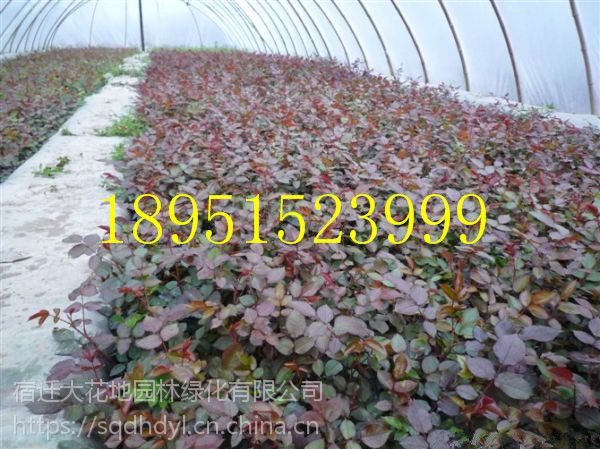 2018年地被植物50厘米高红帽月季花价格多少钱一棵报价1.2元每棵