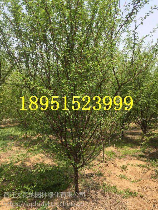 2018年沭阳地径8公分榆叶梅价格多少钱报价275元每棵,风景树梅花基地