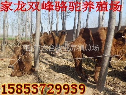 山东济宁 供应黑色成年育肥肉驴 肉质鲜美 嘉祥县六合牛羊养殖场销售