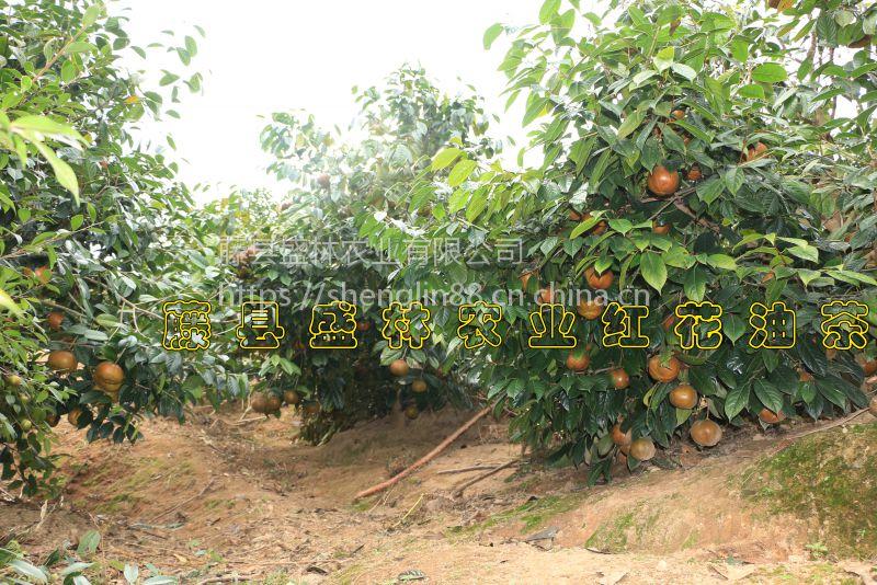 广西藤县红花大果红花油茶苗价格及规格分类图片-实生苗嫁接苗种子果实