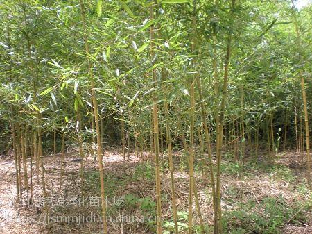 江苏金镶玉竹基地 通报1米2米3米高金镶玉竹子苗价格
