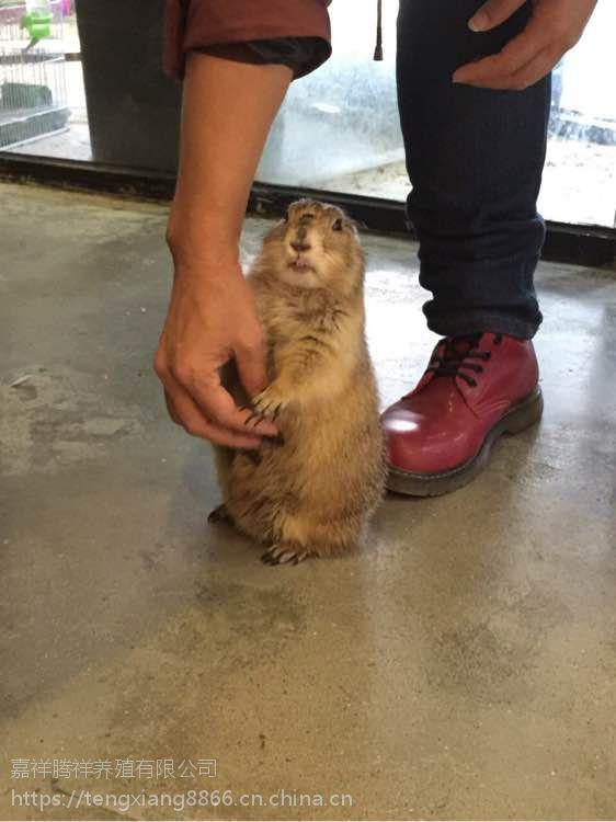 土拨鼠多少钱哪里有卖土拨鼠的