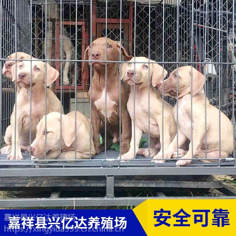 嘉祥县兴亿达纯种比特犬小奶狗出售