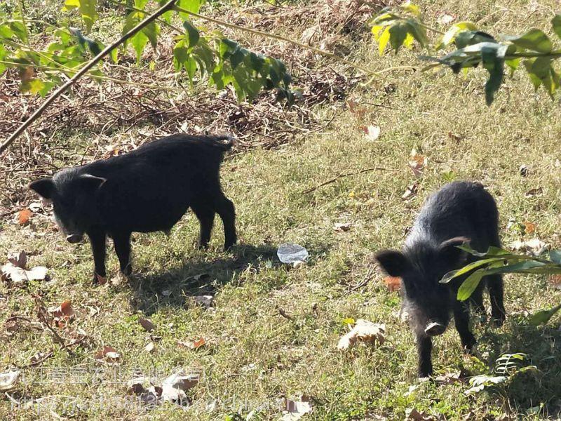 浙江宁波散养藏香猪市场价格养殖藏香猪一年的利润