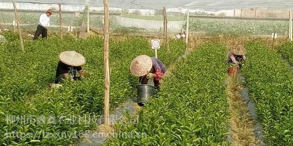 南宁脱毒橘子树苗价格多少钱每棵