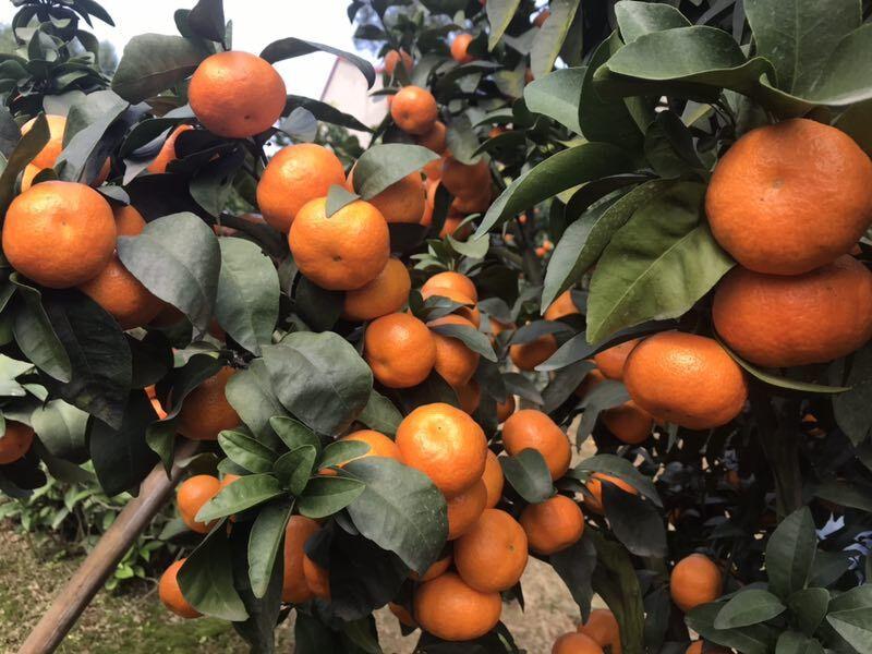 树人公司柑橘品种及柑橘苗木实拍图片