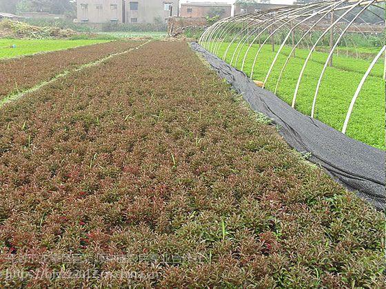 合作社专业种植销售五色草种苗 菊花种苗 菊花展造型 设计制作五色草立体花坛