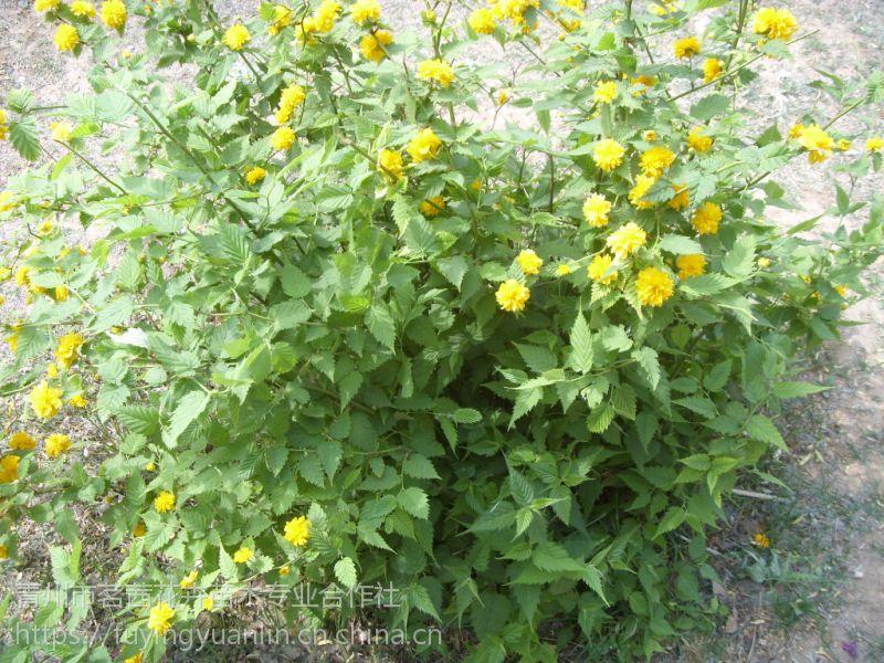 山东小区绿化常用绿化苗木地被灌木小苗基地一手供应