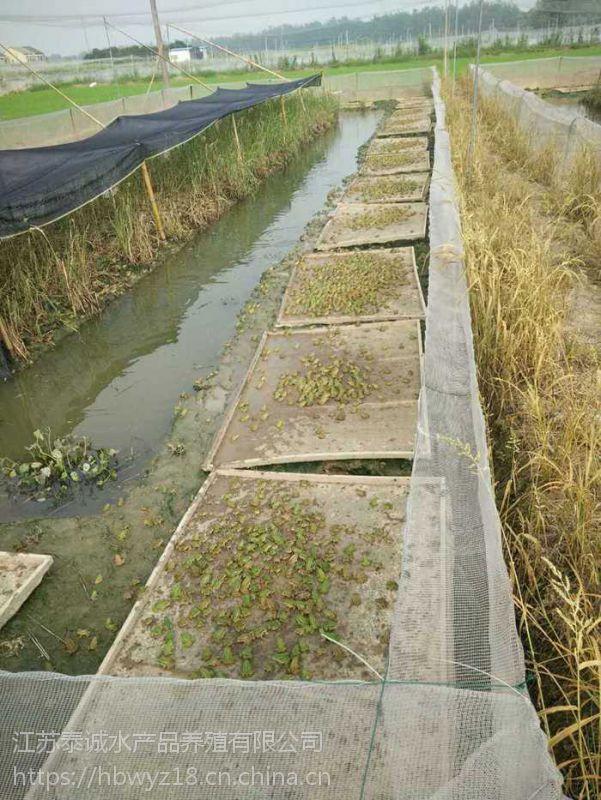 江苏泰诚黑斑青蛙养殖基地 常年供应黑斑青蛙种苗 蝌蚪 成蛙