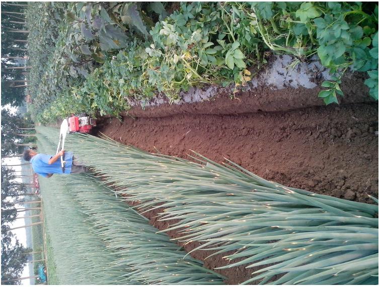 轻便启动式大葱封沟机 重庆薯类种植开沟培土机