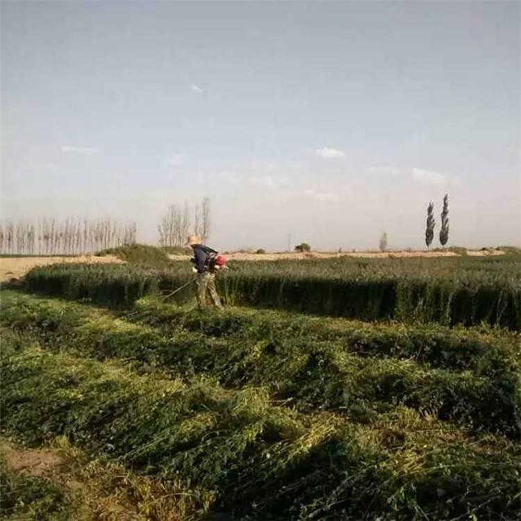 汽油割草机具体使用操作视频