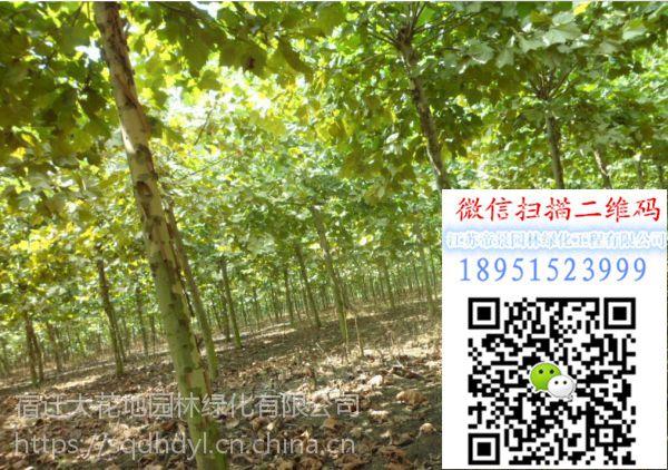 2018年江苏胸径18公分法桐价格多少钱一棵风景树行道树基地