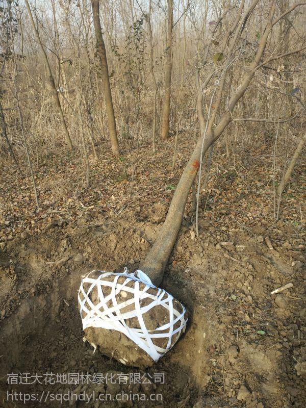 胸径15公分乌桕树价格多少钱一棵报价680元行道树乌桕基地
