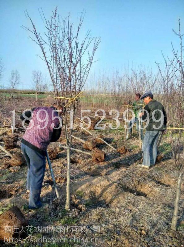 4公分美人梅价格5公分美人梅报价45元每棵风景树基地