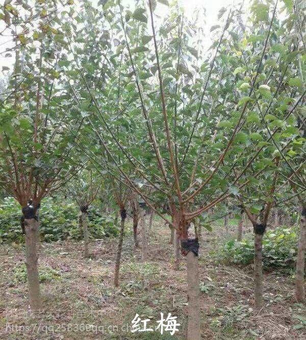 红梅树培育基地,特价2公分3公分4公分5公分6公分7公分8公分9公分10公分红梅树价格