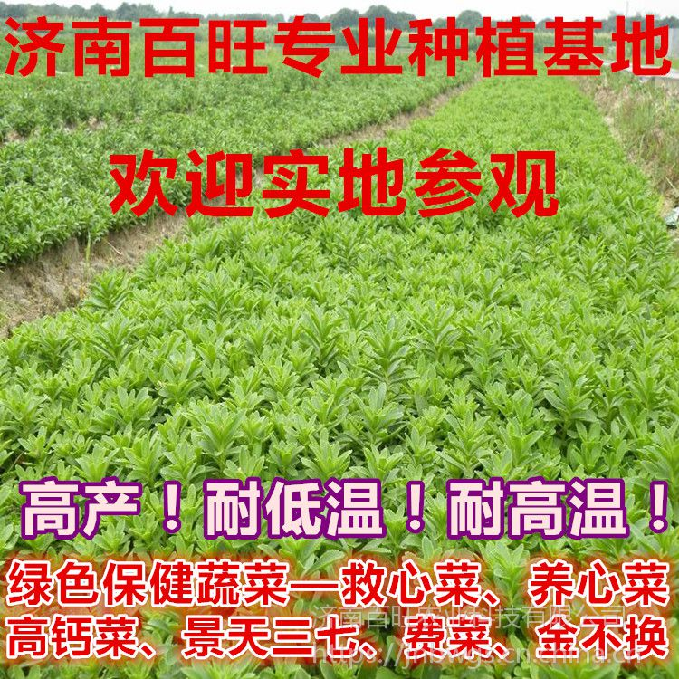 纯绿色保健、食疗、药用特菜——救心菜种苗.养心菜种苗