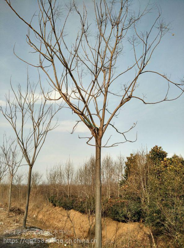 优质11公分栾树价格表12公分栾树价格13公分栾树价格