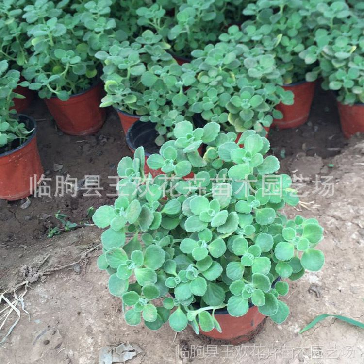 香草植物碰碰香一抹香盆栽  办公室内驱虫净化空气观赏绿植小盆景