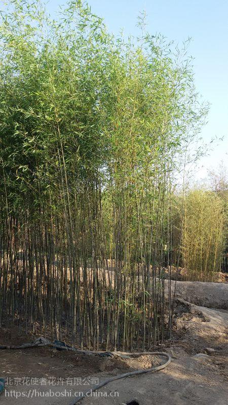 北京庭院竹子批发北京附近竹子多观赏竹子批发商图片