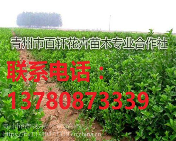 山东青州市冬青幼苗现货供应,青州百轩花卉苗木