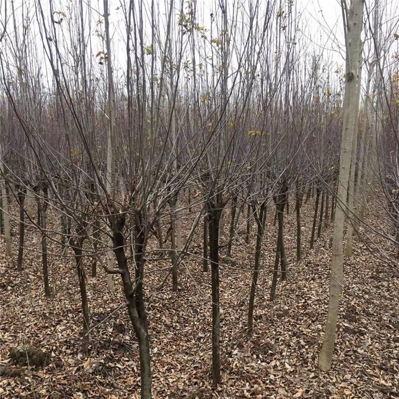 2018年湖北地区地径6公分紫叶李价格多少钱一棵红叶李盆栽苗木基地