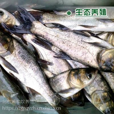 鲜活水产品 北京放生鱼苗 1斤左右鲤鱼苗【低价批发 放生人士优先】
