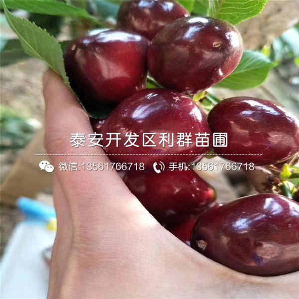 意大利早红樱桃树苗基地批发意大利早红樱桃树