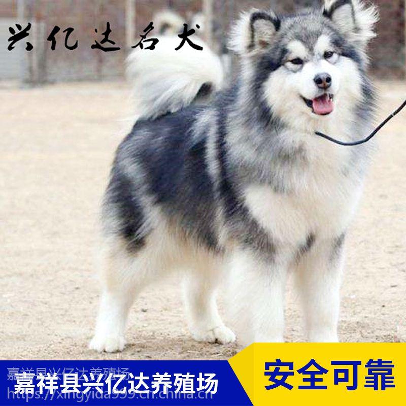 嘉祥县兴亿达纯种阿拉斯加幼犬养殖场报价