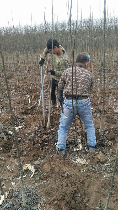河南焦作周边哪里有核桃树苗种植基地