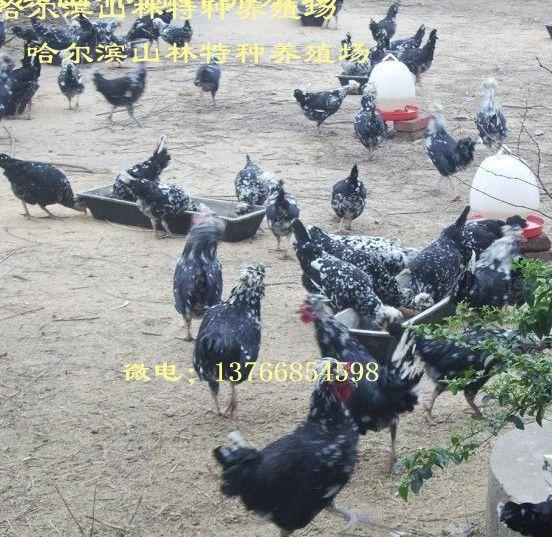 大庆贵妃鸡养殖、贵妃鸡雏、绥化贵妃鸡养殖、贵妃鸡雏、伊春贵妃鸡养殖、贵妃鸡雏、