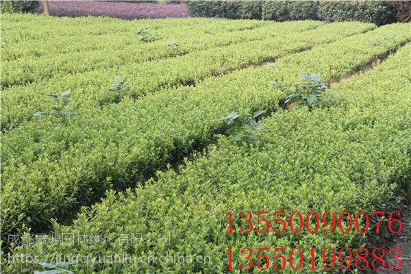 成都春鹃小苗批发基地出售春鹃工程绿化苗子,春鹃苗子价格